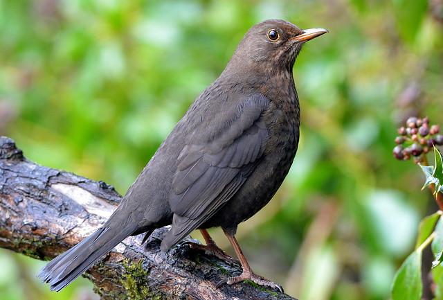 DSC_7787 Blackbird