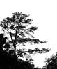 Big pine tree