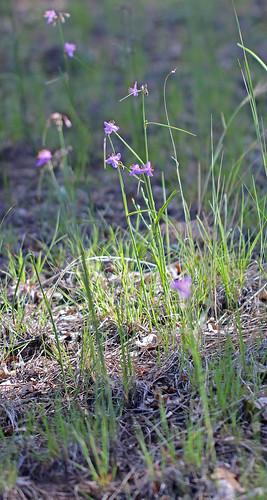 12016 alamocitocanyon catronco commelinaceae commelinales monocots nm pinespiderwort tradescantia tradescantiapinetorum wildflower flower spiderowrt