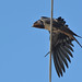 Male Swallow by Aston