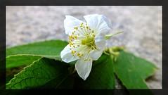 bunga ceri