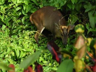 愛吃嫩枝細葉的山羌,也為綠保產品標註好吃的印記。圖為柴山上拍攝到的山羌,高雄市柴山會提供。