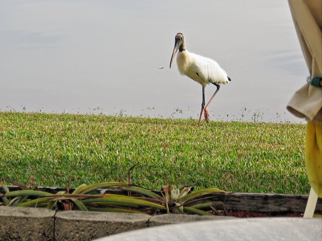 Wood Stork approaches 20141221