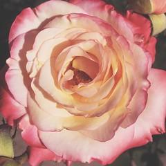 :rose::two_hearts:  #rose #flowers #dailynature #naturelovers #vscocam #vsco