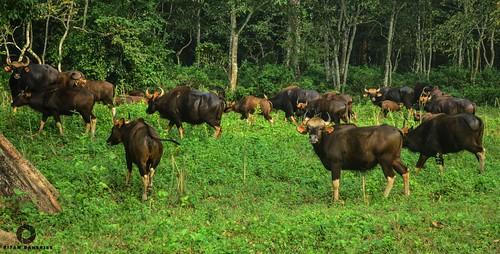 জলদাপাড়ায় বাইসনের মুখোমুখি