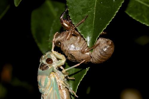 Cicada hatching