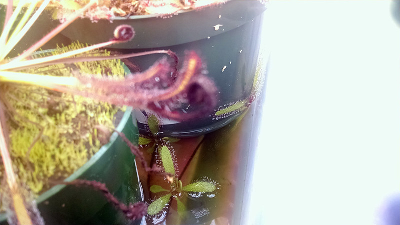 Drosera adelae plantlets in the tray water.