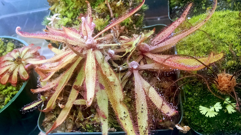 Drosera adelae with caterpillar damage.