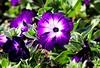 Purple Invasion