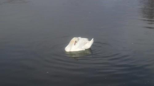 Unresponsive Thames swans
