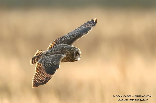 Dean Eades - BirdMad - Short eared owl