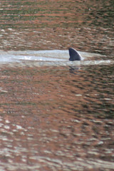 Dolphin at Crane Creek