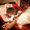 #natasha wants to be wrapped for Christmas. Silly kitty. #wrapacat