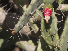 produce(0.0), fauna(0.0), echinopsis pachanoi(0.0), nopal(0.0), plant stem(0.0), caryophyllales(0.0), flower(1.0), barbary fig(1.0), thorns, spines, and prickles(1.0), flora(1.0), eastern prickly pear(1.0),