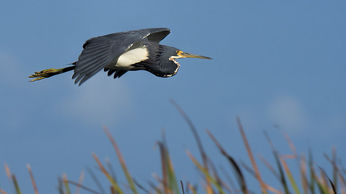 Florida: Tricolored Heron a Flying