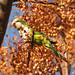 Monk Parakeet by treegrow