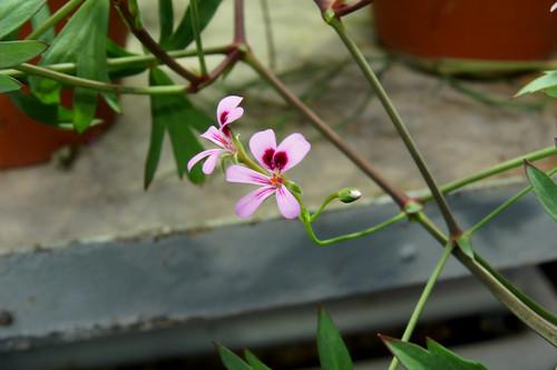 P. laevigatum, flower