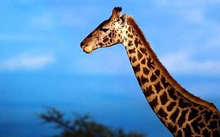 giraffe-neck