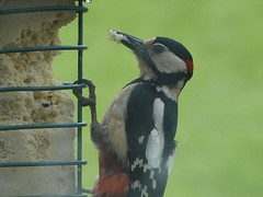 Greater Spotted Woodpecker decimating the fat tower! #bird #birdsofinstagram