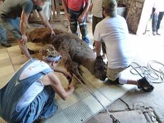 Alpaca Shearfest 2016