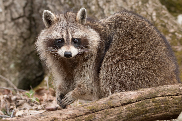 Raccoon - making eye contact - 0755