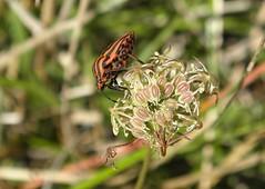 Graphosoma italicum - Photo of Saint-Vallier