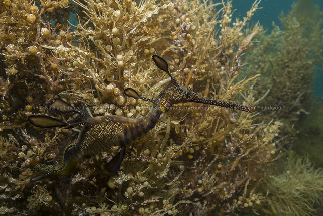 Weedy sea dragon camouflaged in weeds (Phyllopteryx taeniolatus)