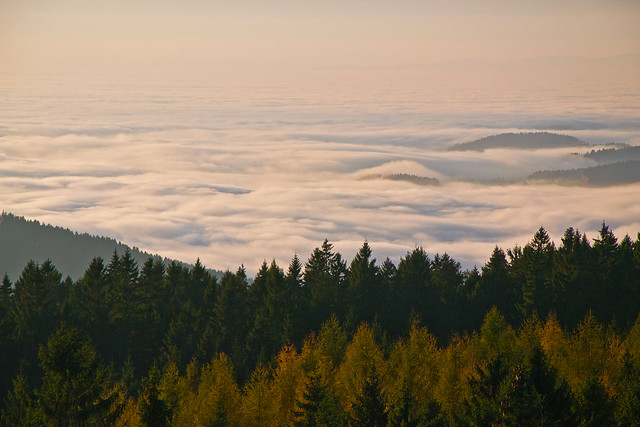Pine trees, larches and fog...