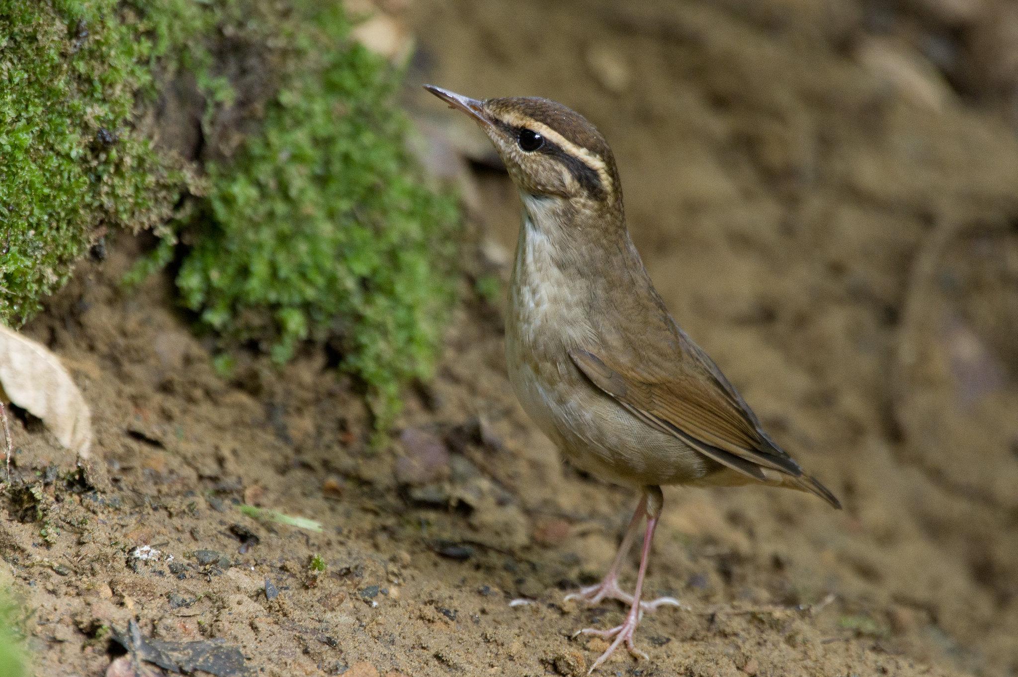 短尾鶯首拍