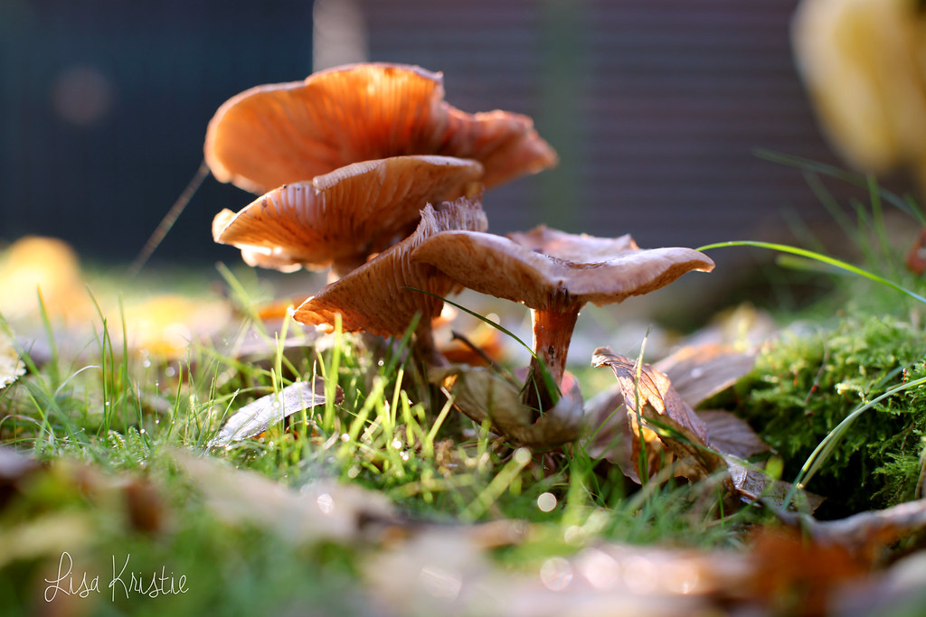 mushrooms closeup fall autumn sharp colorful beautiful backyard garden europe belgium canon 5D markii sunny weather