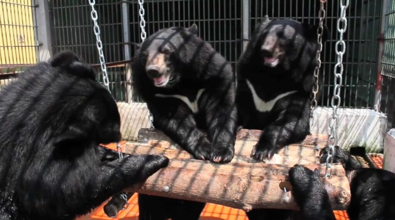 Bears happily enjoy their new enrichment