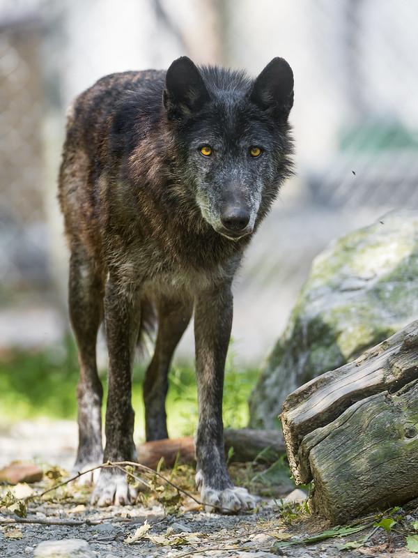 Walking black timberwolf
