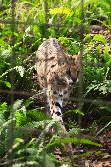 Serval in the Ferns
