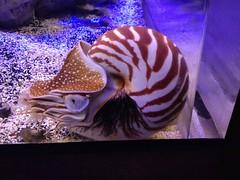 animal(1.0), purple(1.0), organism(1.0), marine biology(1.0), invertebrate(1.0), marine invertebrates(1.0), fauna(1.0), nautilida(1.0), reef(1.0),
