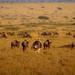 Ostrich Guardian, Masai Mara