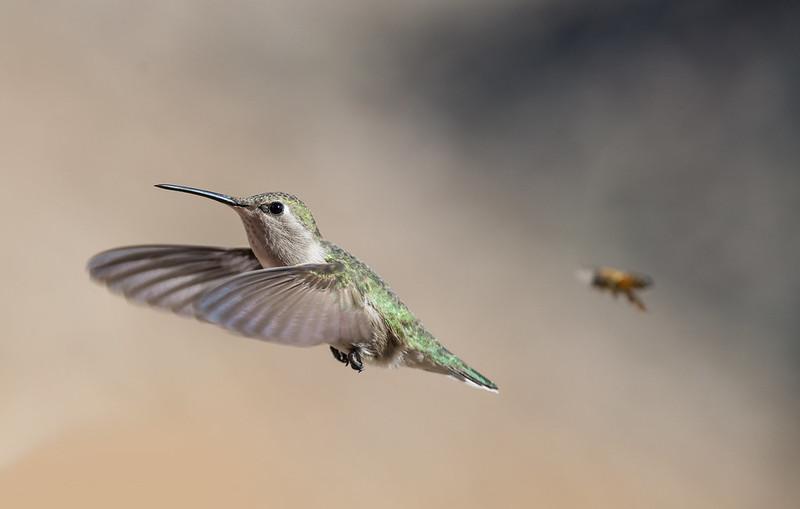 Green Hummingbird and the bee