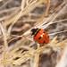 Transverse Ladybeetle - Photo (c) Lon&Queta, some rights reserved (CC BY-NC-SA)