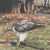 This is my front yard! This is a hawk eating a dead squirrel in my front yard! This was our Saturday morning tv.