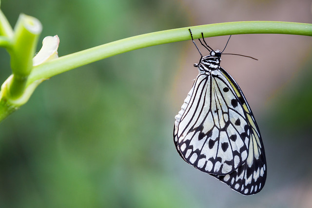 Rice Paper Butterfly