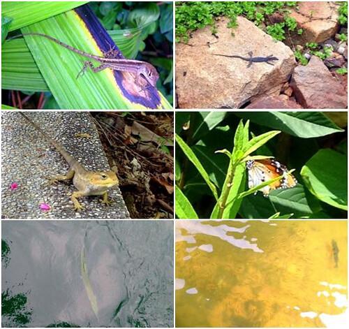 於新加坡所拍攝之蜥蜴、蝴蝶與魚類(圖片攝影:蔡宗翰)