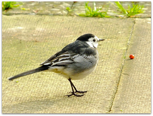 Pied Wagtail - Foraging along the path!