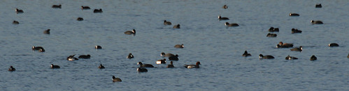 Wildfowl at Tophill Low NR, East Yorkshire November 2014