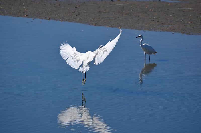 Egret landing, Saintes Maries de la Mer, Camargue, France