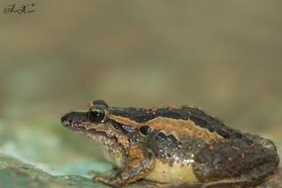 Rã-de-focinho-pontiagudo, Iberian Painted Frog (Discoglossus galganoi) - em Liberdade [in Wild]