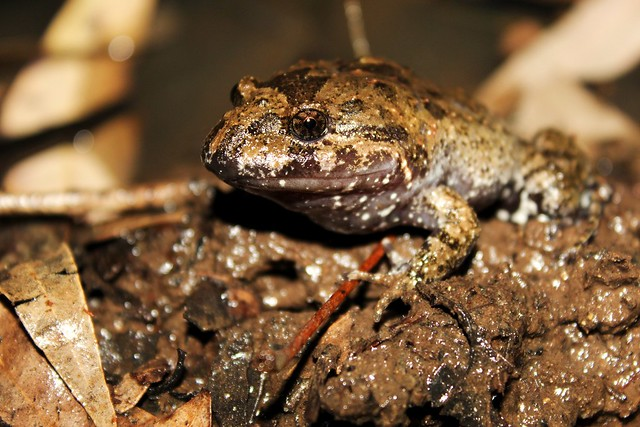 Tusked Frog (Adelotus brevis) - Male
