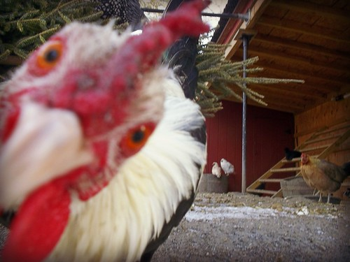 Photo Bombing Chicken