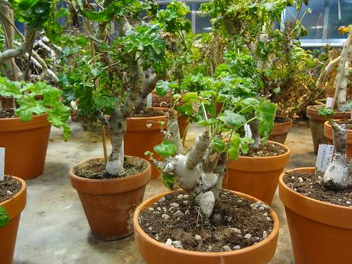 Plants of P. carnosum