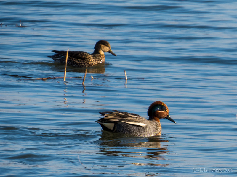 Male and female Teal