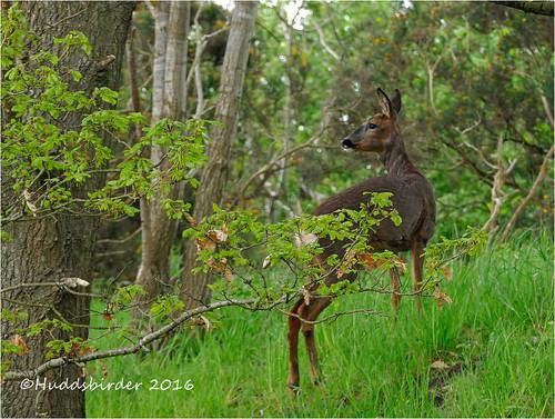 Roe Deer-1270443