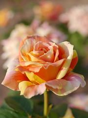 Rose, Kihachijou, バラ, 黄八丈,